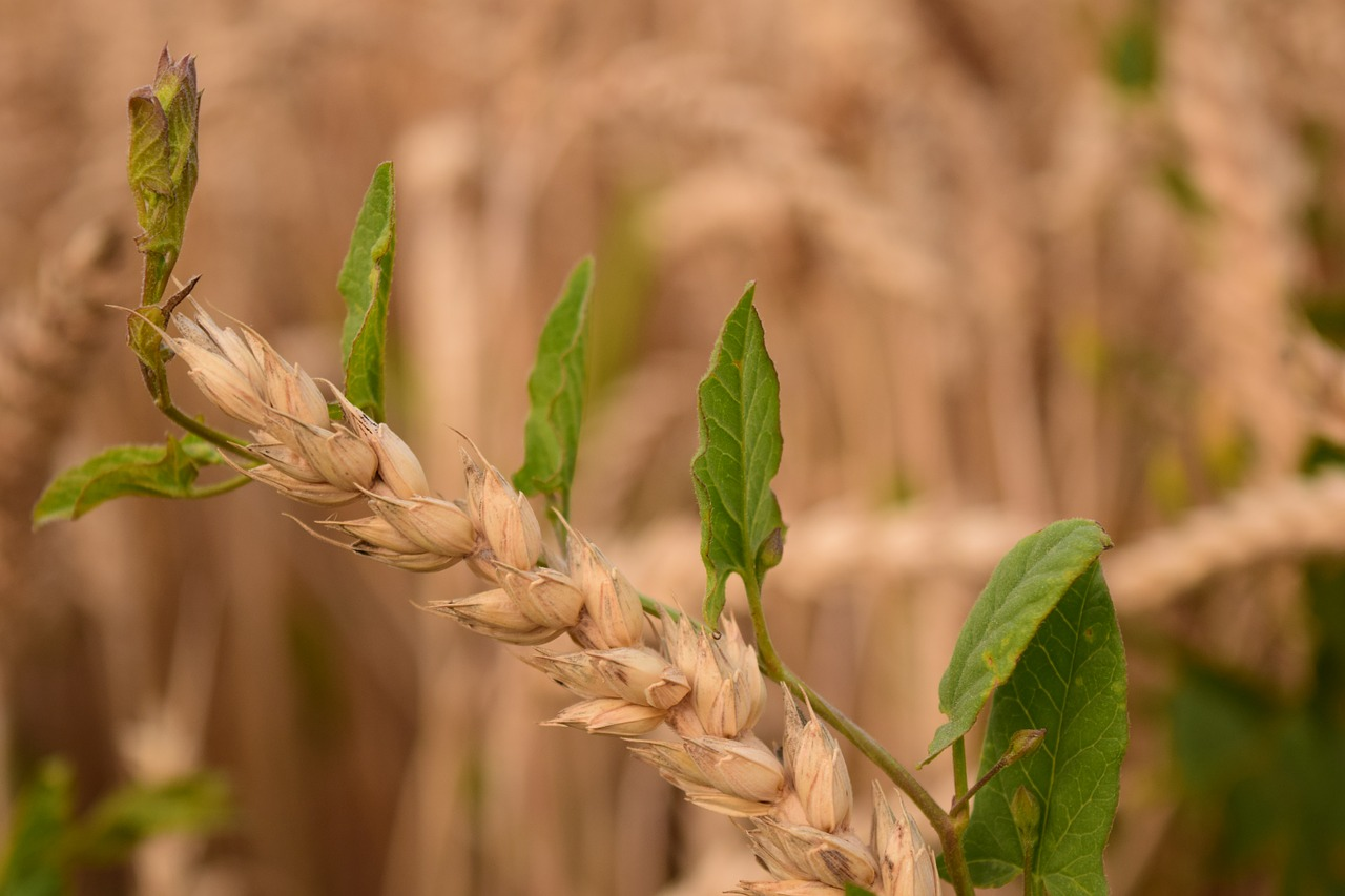 Parables: The Weeds in the Field